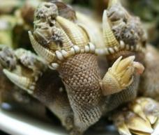 カメノテ 亀の手