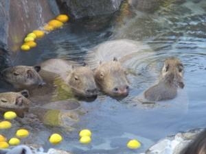 カピバラ 温泉 動物園