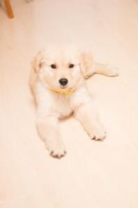 床 フローリング 犬